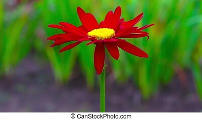 One red daisy flower on a background of green grass