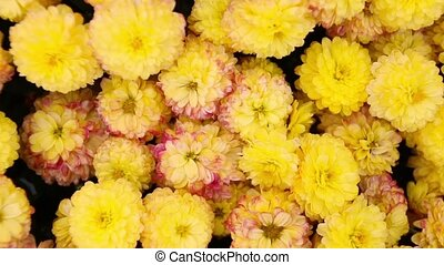 Yellow chrysanthemum flowers in the garden