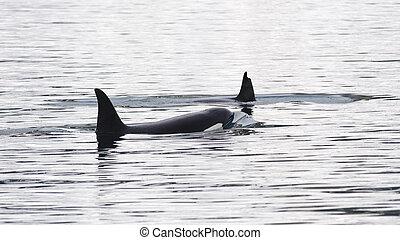 Orcas, Iceland - Orcas, Grundarfjordur, Iceland