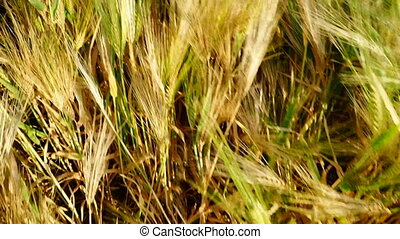 Wheat ears. Top view. Tracking camera. Udaipur. Rajasthan....