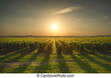 Bolgheri and Castagneto vineyard on sunset in backlight....