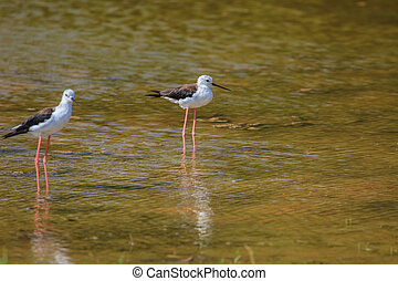 Black-winged Stilt (Himantopus himantopus) on the water
