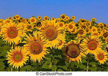 sunflower field over cloudy blue a sky - Sunflower field on...