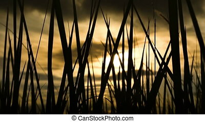 silhouette grass on sunrise background