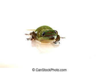 Madagascar Day Lizard - front view - isolated on white