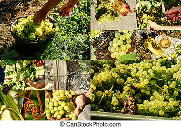 Collage with white grape harvesting and grape closeup