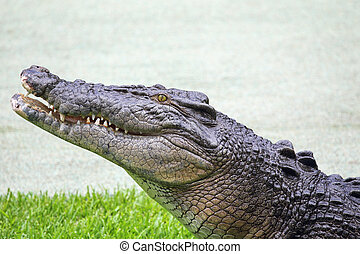 Saltwater Crocodile (Crocodylus porosus) in Queensland,...
