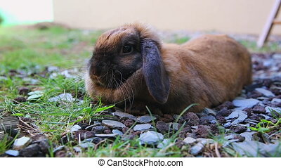 Cute Brown Rabbit Lying On The Floor In The Garden