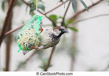 House Sparrow (Passer domesticus) feeding on a fat ball in...