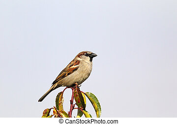 House Sparrow (Passer domesticus) - Male House Sparrow...