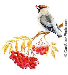Waxwing bird and ashberry - Beautiful image with nice...