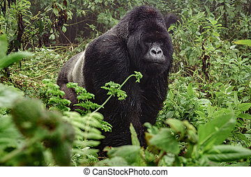 Silverback mountain gorilla in the misty forest - Front view...