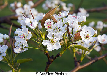 Asian pear flowers - Flowers of an Asian pear tree (Pyrus...