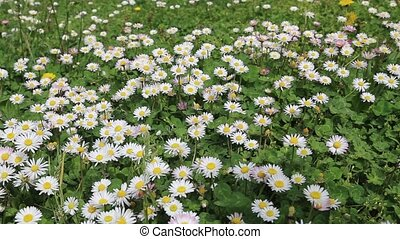 Chamomile green white field - DSLR Full HD progressive video...