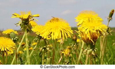 dandelions in meadow
