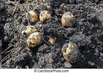 Freshly dug potatoes lying on ground - Freshly dug potatoes...