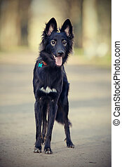 Black shaggy dog. - The black not thoroughbred shaggy...