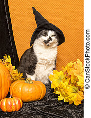 Witch Cat - A black and white cat sits with pumpkins and...