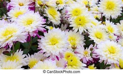 White-red-yellow chrysanthemum flowers in the garden....