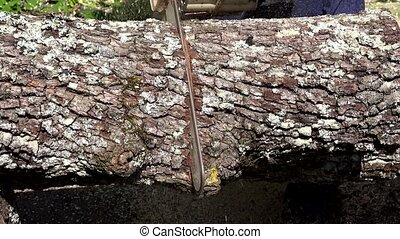 Chainsaw blade saw thick maple tree trunk on sunlight. Closeup shot. 4K