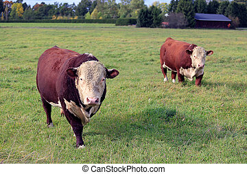 Two Curious Hereford Bulls On Meadow - Two large, curious...