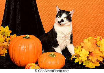 Black and White Halloween cat. - A black and white tuxedo...