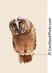 Young long-eared owl isolated over seamless background