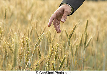 Hand of a businessman pointing to fresh wheat