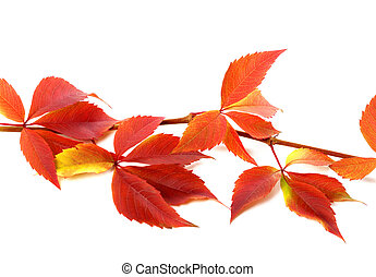 Red autumnal branch of grapes leaves Parthenocissus...