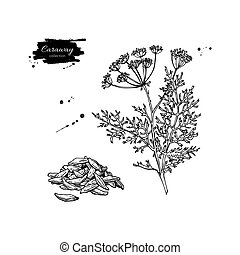 Caraway vector hand drawn illustration set. Isolated spice...