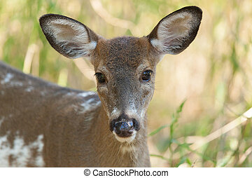 Piebald Whitetailed Buck - A piebald Whitetailed male fawn...