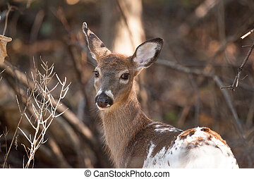 Piebald Whitetailed Doe - A female piebald Whitetailed deer...