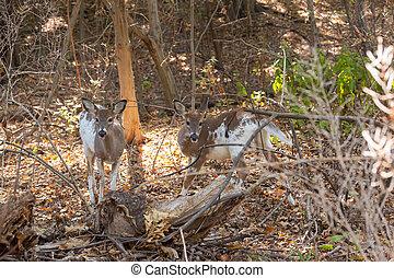 Piebald Whitetailed Deer Siblings - A pair of piebald...