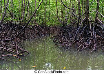 Mangroves in dark water at low tide - Mangroves trees in...