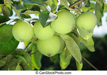 green apples on a branch with foliage