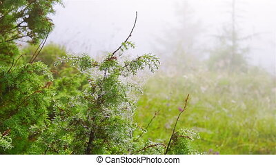 Spider Web with Dew Drops on Young Pine Tree in Dawn Mist