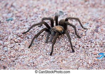 Tarantula Spider - Tarantula spider at sedona Arizona, close...