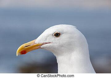 Western Gull - Close up of a Western Gull in San Diego