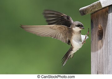 Tree Swallow (tachycineta bicolor) bringing food to the nest