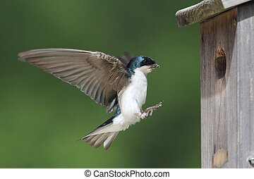 Tree Swallow Feeding Bringing Food To Nest - Male Tree...
