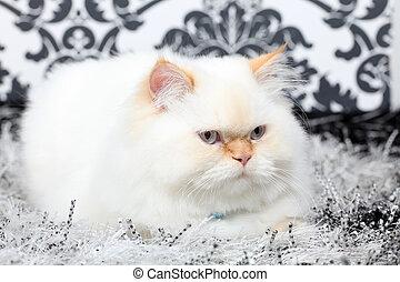 Persian aristocratic cat