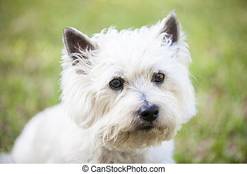 White Cairn Terrier posing outdoors