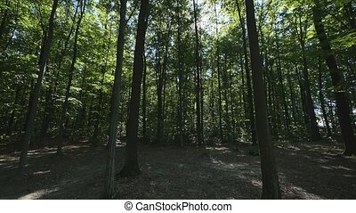 Wide angle shot of tall trees in a forest.
