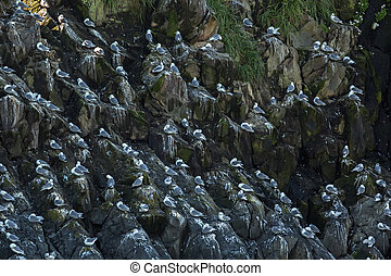 Sea gulls nest on the cliffs of Pacific Ocean. - Sea gulls...
