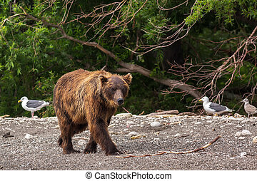 Brown bear on the shore of Kurile Lake. Southern Kamchatka...