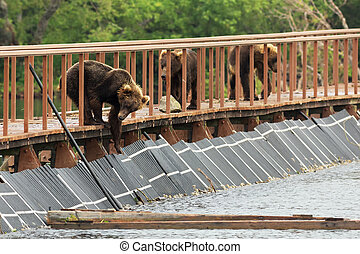 Three young brown bear on fence to account for fish. Kurile...