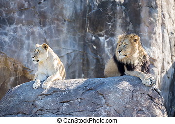 Lions on a Rock - Male and female lion laying on a rock