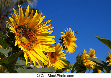 Sun Flowers blue Sky Bees - Several sunflowers with single...