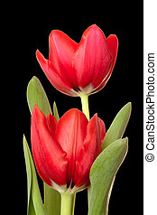 Two Red Tulips over Black Background