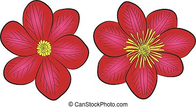 clematis flowers - two vector blooming clematis flowers,...